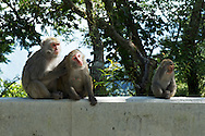 Macaque monkeys on the Alishan Road to Yushan National Park.