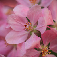 """""""Baby Oh Baby""""<br /> <br /> Gorgeous pink blossom macro with a slight swirl!"""