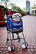 Dog in a baby buggy in the city centre of Tokyo. Tokyo has 13.01 million inhabitans, is the Japanese capital and the largest city in Japan.