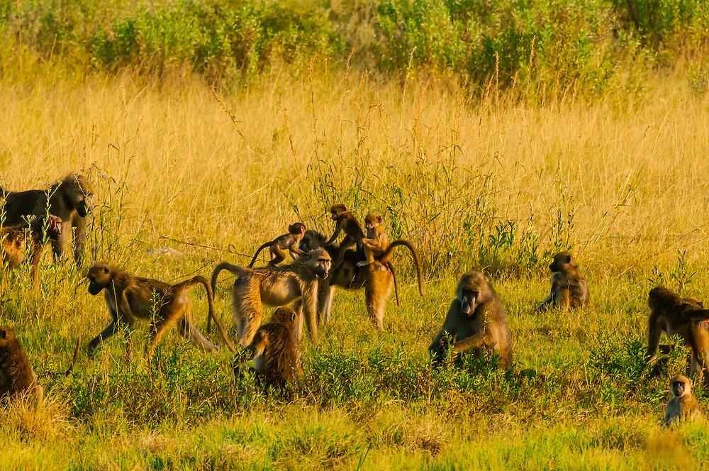 Troop of baboons, Linyanti Marshes, Botswana.