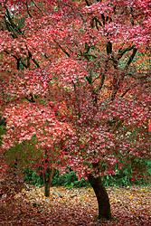 Acer palmatum 'Atropurpureum' - Purple Japanese maple