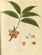 Myristica sphaerocarpa From Plantae Asiaticae rariores, or, Descriptions and figures of a select number of unpublished East Indian plants Volume 1 by N. Wallich. Nathaniel Wolff Wallich FRS FRSE (28 January 1786 – 28 April 1854) was a surgeon and botanist of Danish origin who worked in India, initially in the Danish settlement near Calcutta and later for the Danish East India Company and the British East India Company. He was involved in the early development of the Calcutta Botanical Garden, describing many new plant species and developing a large herbarium collection which was distributed to collections in Europe. Several of the plants that he collected were named after him. Published in London in 1830