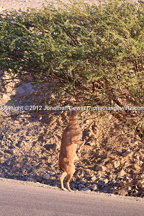A Nubian ibex (Capra nubiana) forages in a tree near the Field School at the Ein Gedi nature preserve. WATERMARKS WILL NOT APPEAR ON PRINTS OR LICENSED IMAGES.