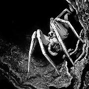 Wolf Spider, Female, Lycosa carolinensis, selenium toned gelatin silver print