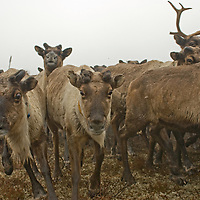 North of the Arctic Circle in Russia, a herd of domesticated reindeer charges across the tundra near Snopa village.