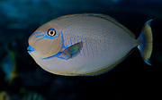 Bignose unicornfish, Naso vlamingi.