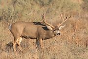 A gigantic non-typical mule deer buck follows a doe during the fall rut.