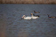 Photo Randy Vanderveen.Grande Prairie , Alberta.10-05-12 .Trumpeter swans swim on a slough southeast of Sexsmith Thursday afternoon. The birds are the largest of the water fowl that nest in the Peace.