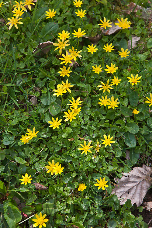 Spring and summer hedgerow wildflower Lesser Celandine, and grass  in Cornwall, England, UK