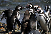 A huddle of Megellanic Penguins (Spheniscus magellanicus) on the beach at their nesting colony at Otway Sound. Punta Arenas, Republic of Chile. 16Feb13