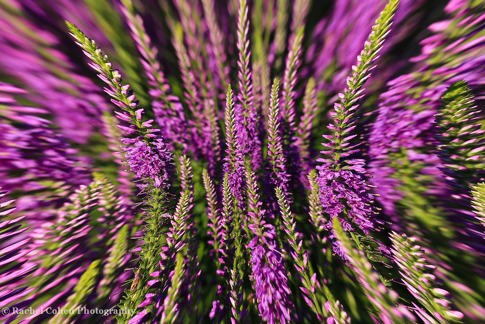 """""""Lavender Head Rush""""<br /> <br /> Beautiful lavender flowers in an wonderful abstract!!<br /> <br /> Flowers and Wildflowers by Rachel Cohen"""