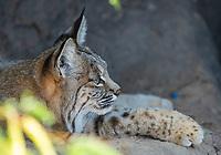 Bobcat, Lynx rufus, rests in the shade at the Arizona-Sonora Desert Museum, near Tucson, Arizona. (Captive)