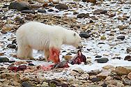 01874-12909 Polar bear (Ursus maritimus) eating Ringed Seal (Phoca hispida)  in winter, Churchill Wildlife Management Area, Churchill, MB Canada