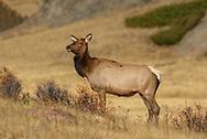 Female Elk in Rocky Mountain National Park