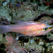 Bigtooth Cardinalfish hide in caves and recesses during day in deep reefs and rocky outcroppings Tropical West Atlantic; picture taken Venzuela.
