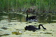 Two black swans (Cygnus atratus) and their cygnets in the moat at Hindringham Hall, Hindringham, Norfolk, UK