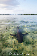 female lemon shark, Negaprion brevirostris, swims through shallow sand flats after giving birth in protected lagoon, Bahamas ( Western  Atlantic Ocean )
