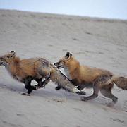 Red Fox, (Vulpus fulva) Pair running in sand dunes of Little Sahara area of Utah. Captive Animal.