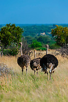 Male and female ostriches, Dinokeng Game Reserve, near Pretoria (Tshwane), South Africa.