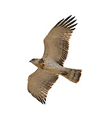 Short-toed Eagle - Circaetus gallicus