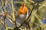 Robin, Erithacus rubecula, singing, Stodmarsh National Nature Reserve, United Kingdom, adult, perching, sunshine, chirping, sound, calling