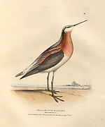 Wilson's phalarope (Phalaropus wilsonii syn Phalaropus tricolor) color plate of North American birds from Fauna boreali-americana; or, The zoology of the northern parts of British America, containing descriptions of the objects of natural history collected on the late northern land expeditions under command of Capt. Sir John Franklin by Richardson, John, Sir, 1787-1865 Published 1829
