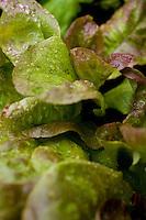 Young lettuce plants in garden.
