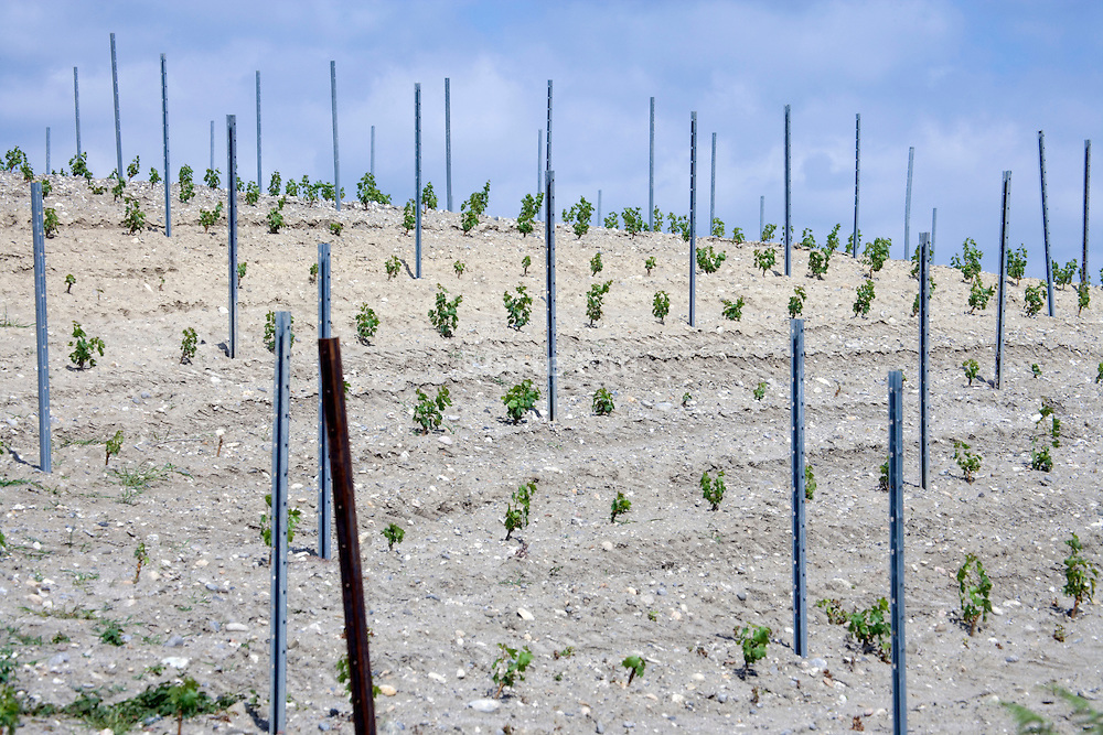 newly planted grape vines