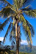 Coconut Palm tree, Oahu, Hawaii