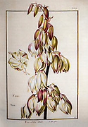 Yucca filamentosa, Adam's needle and thread, 17th century hand painted on Parchment botany study of a from the Jardin du Roi botanical Florilegium of Prince Eugene of Savoy collection, Paris c. 1670 artist: Nicolas Robert