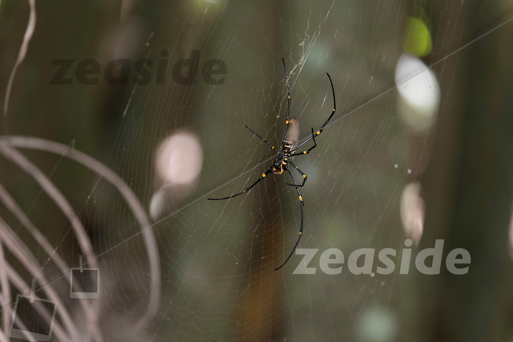 A Golden Orb-Weaver, hanging out in its net right across the track in Tamborine Mountain forest.