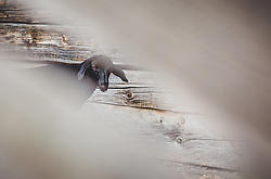 THEMENBILD - ein schwarzes Schaf auf der Fürthermoar Alm, aufgenommen am 09. August 2018, Kaprun, Österreich // a black sheap on the Fürthermoar Alm on 2018/08/09, Kaprun, Austria. EXPA Pictures © 2018, PhotoCredit: EXPA/ Stefanie Oberhauser