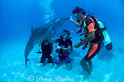 divers play with rough-toothed dolphins, Steno bredanensis, in Moorea Lagoon, captive-release program, Dolphin Quest Moorea Beachcomber, <br /> French Polynesia ( South Pacific Ocean )