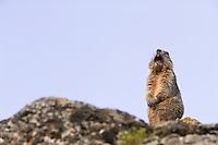 Alpine marmot sounding alarm note, Marmota marmota, Guillestre, Queyras, France, Europe
