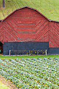 A old wooden barn with cabbage field along the Quilt Trails in Burnsville, North Carolina. The quilt trails honor handmade quilt designs of the rural Appalachian region.