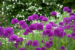Allium hollandicum 'Purple Sensation' in the cutting garden. Beyond is Viburnum opulus 'Roseum' syn. 'Sterile' AGM.  Snowball tree, Guelder rose