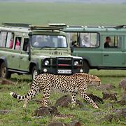 Tourists taking photographs of cheetah in safari vehicle. Masai Mara game Reserve. Kenya. Africa.