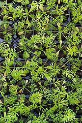 Module tray of Nigella 'Deep Blue' seedlings