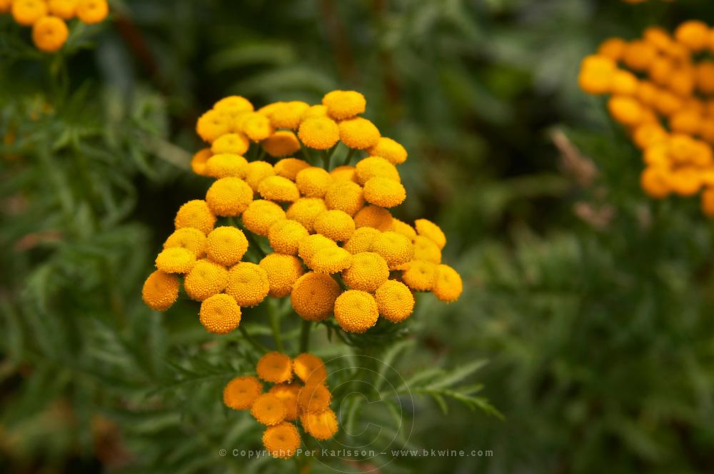 Tanacetum vulgare common tansy Smaland region. Sweden, Europe.