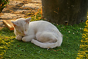 White domestic cat sleeps on green grass