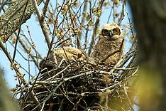 Strigiformes (Owls)
