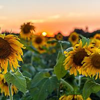 Sunflowers bloom at Wagner Farms in Rome Wednesday, August 12, 2020.