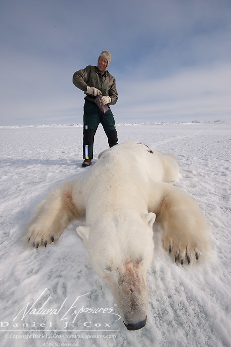 Steve Amstrup , lead USGS biologist, paints a number on the back of an immobilized large male polar bear (Ursus maritimus) that was darted for research purposes. Kaktovik, Alaska.