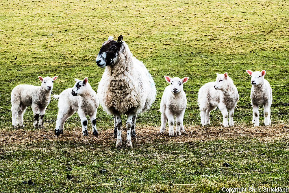 Yetholm, Kelso, Scottish Borders, UK. 13th March 2018. Lambs in the foothills of the Cheviots in the Bowmont valley near the Border village of Yetholm.