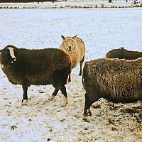 Europe, The Netherlands. Zaanse Schans in winter.