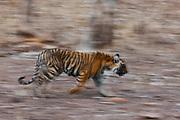 Motion-blur of a walking Bengal tiger cub (Panthera tigris tigris), Ranthambhore National Park, Rajasthan, India,