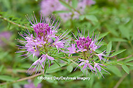 63821-19906 Spider Flowers (Cleome sp) in flower garden,  Marion Co. IL