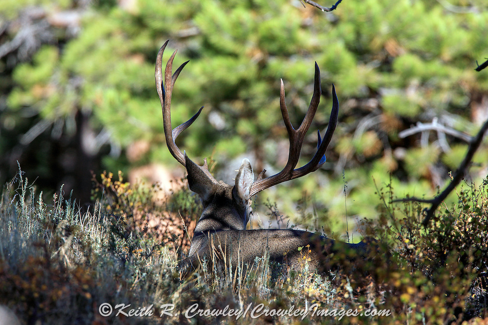 Mule deer buck bedded in habitat