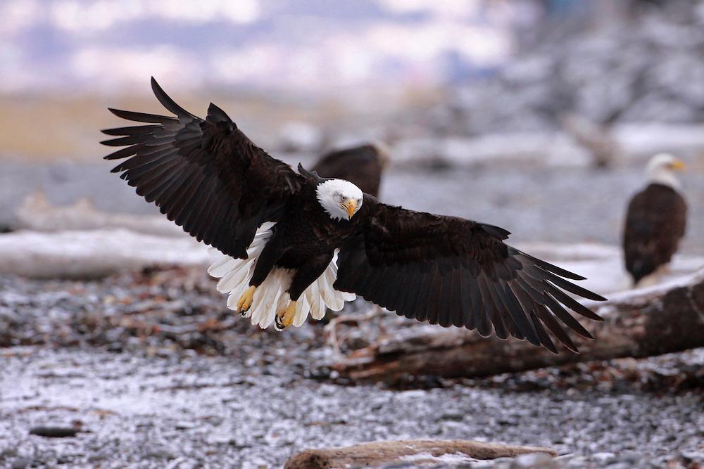 Alaska. Bald Eagle (Haliaeetus leucocephalus) landing sequence #2, Homer.