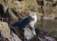 Grey Seal, Halichoerus grypus, on Farne Island, Northumberland